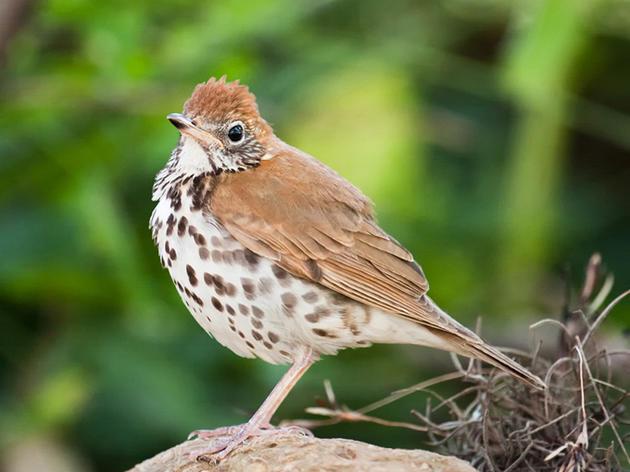 Priority Bird Species